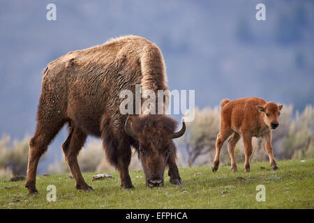 Bison (Bison bison) cow and calf in the spring, Yellowstone National Park, UNESCO, Wyoming, United States of America - Stock Photo