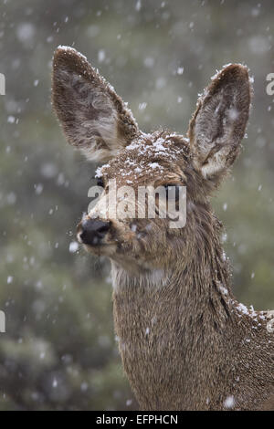 Young mule deer (Odocoileus hemionus) in snow storm in the spring, Yellowstone National Park, Wyoming, United States - Stock Photo
