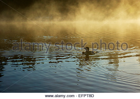 A loon swims with her young as early morning sun lights up fog rising from Poplar Lake, Minnesota. - Stock Photo