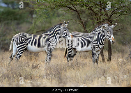 Grevy's Zebras (Equus grevyi), standing in the bush savannah, highly endangered species, Buffalo Springs National - Stock Photo
