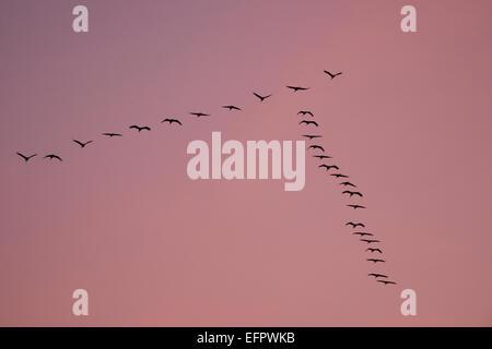 Cranes (Grus grus) in flight, in a V-formation, Mecklenburg-Western Pomerania, Germany