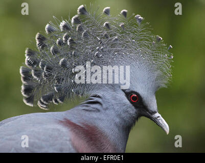 Victoria crowned pigeon.Goura victoria.Ground-dwelling pigeon native to the New Guinea region. - Stock Photo