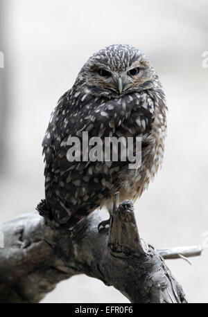 Burrowing owl.Athene cunicularia.A small,long-legged owl found throughout open landscapes of North and South America. - Stock Photo