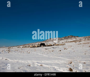 Moorland ponies and sheep eating near Roughtor in the snow on Bodmin moor, North Cornwall. - Stock Photo