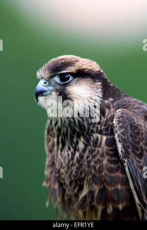 Lanner Falcon (Falco biarmicus), adult, captive, Eifel, Germany - Stock Photo