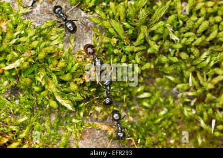 Marching black garden ants. Scientific name: Lasius niger. - Stock Photo