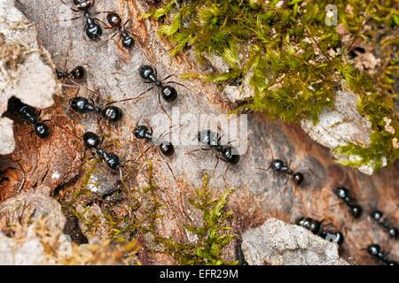 Black garden ants marching on tree bark. Scientific name: Lasius niger. Kaluga Region, Central Russia. - Stock Photo