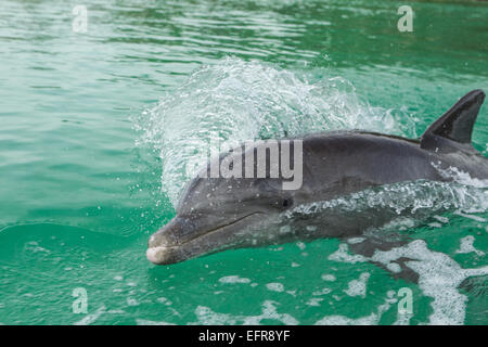 Dolphin swims in wake of boat. - Stock Photo