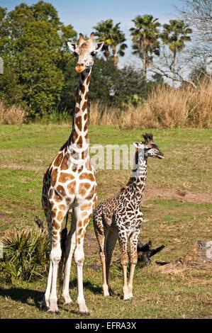Vertical view of a mum and calf Rothschild's giraffes (Giraffa camelopardalis rothschildi). - Stock Photo