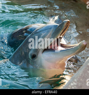 Square close up of a Common Bottlenose dolphin. - Stock Photo