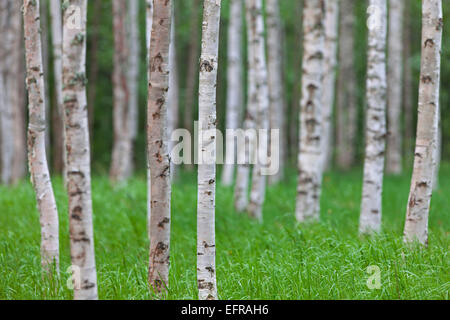 Silver birch / warty birch (Betula pendula / Betula alba / Betula verrucosa) tree trunks of birches in deciduous - Stock Photo