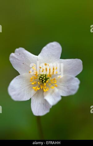 Wood anemone (Anemone nemorosa) flowering in spring forest - Stock Photo