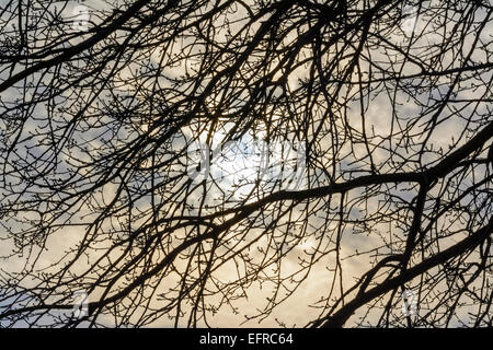 Silhouette of a leafless tree in Winter in front of the sun shining through a cloudy sky, - Stock Photo