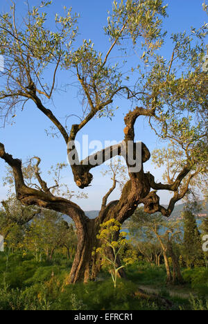 Old olive tree (Olea europaea) in Isola Maggiore, Lake Trasimeno, Umbria, Italy, Europe - Stock Photo