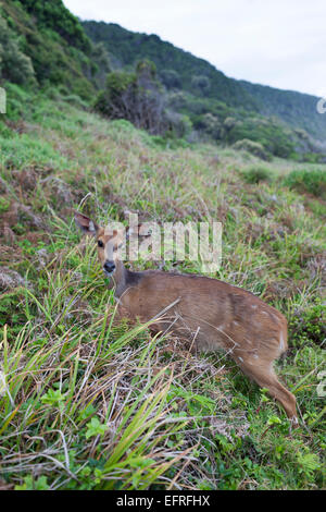 South Africa, Tsitsikamma National Park, Female bushbuck (Tragelaphus scriptus) - Antelope. - Stock Photo
