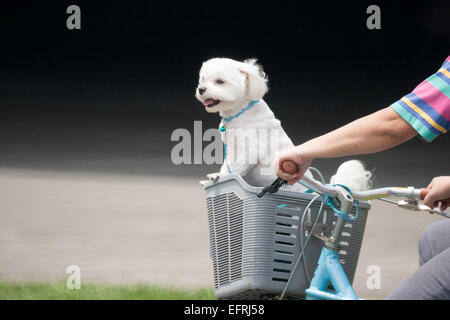 A dog in a basket of bicycle - Stock Photo