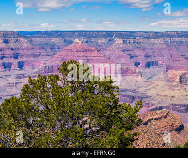 View from Pipe Creek Vista south rim Grand Canyon Arizona USA pinyon pine tree Pinus edulis blue sky horizon cumulus - Stock Photo