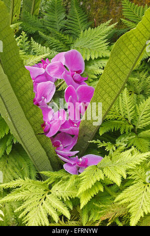 tropical orchid, tropic, exotic, pink, blossoms,Thailand,Asia - Stock Photo