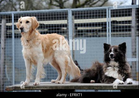 Golden retriever rescue centre wales