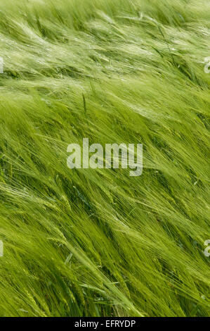 This is a green wheat field. The spikelets are leaning in the wind. - Stock Photo