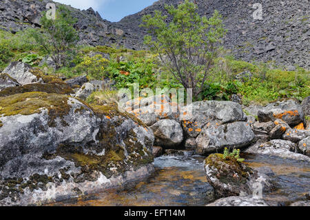 Rhodiola rosea (arctic root) growing on a rock in a mountain stream. Eastern Siberia - Stock Photo