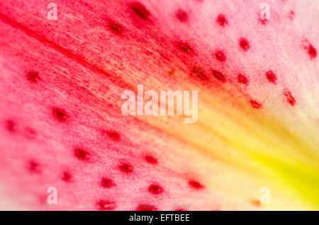 Abstract Macro Pink and Yellow Lily Flower Petal - Stock Photo