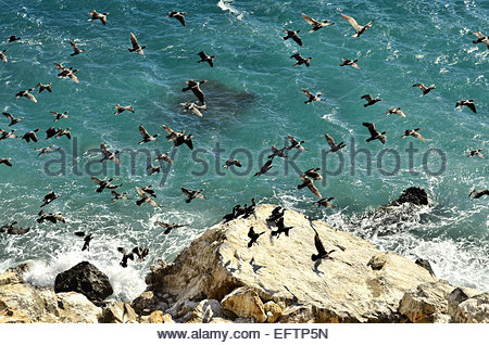 Flock of flying Cormorants over Mediterranean sea, Almeria Andalusia Southern Spain Europe. - Stock Photo