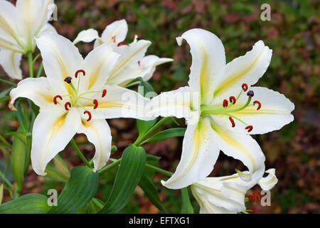 white lilies in a garden - Stock Photo