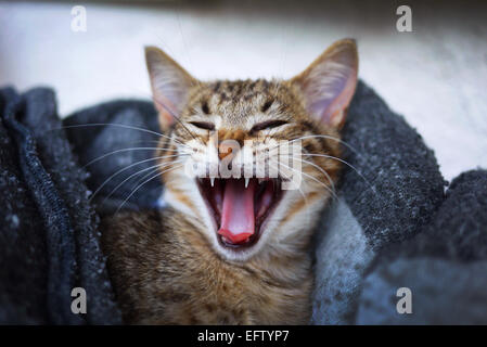 Kitten yawning. - Stock Photo