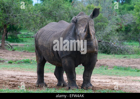 A White rhinoceros (Ceratotherium simum) with a floppy ear looking at camera, Hlane Royal National Park, Swaziland - Stock Photo
