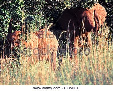 Kenya - Republic of Kenya Africa 2000 Elephants Elephants Herd African Adventure Travel - Stock Photo