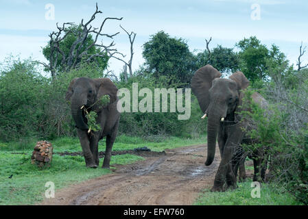 Two alert elephants (Loxodonta africana) one carrying a branch in its mouth, Hlane Royal National Park, Swaziland - Stock Photo