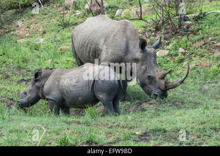 Female White rhinoceros (Ceratotherium simum) with calf, Kruger National Park, South Africa - Stock Photo