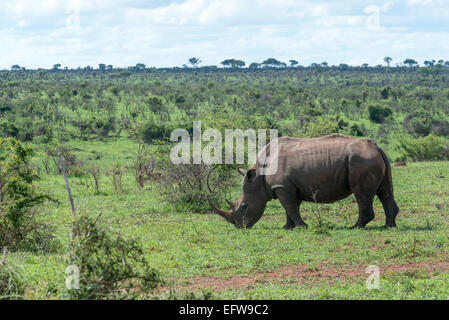 White rhinoceros, (Ceratotherium simum), in open landscape, sideview, Krueger National Park, South Africa - Stock Photo