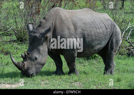 oxpeckers and rhinoceroses relationship test