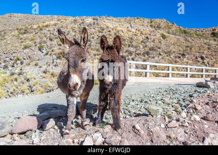 Two cute donkeys in the Bolivian countryside - Stock Photo