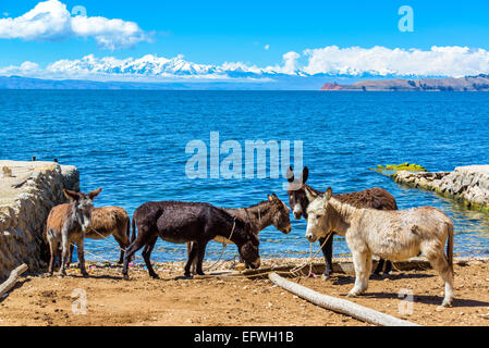 Six donkeys standing on the shore of Lake Titicaca with the Andes mountains in the background as seen on Isla del - Stock Photo