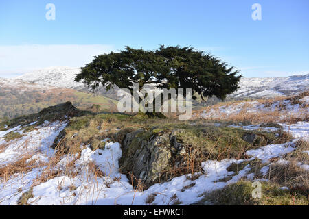 Wild juniper tree in winter England - Stock Photo