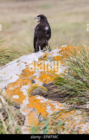 Striated caracara, Phalcoboenus australis, West Point, Falkland Islands (where it is known as the Johnny rook) - Stock Photo
