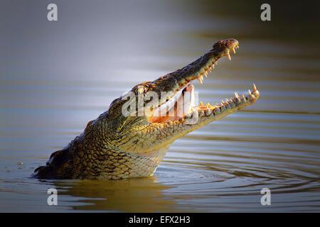 Nile crocodile swallowing a fish; crocodylus niloticus - Kruger National Park - Stock Photo