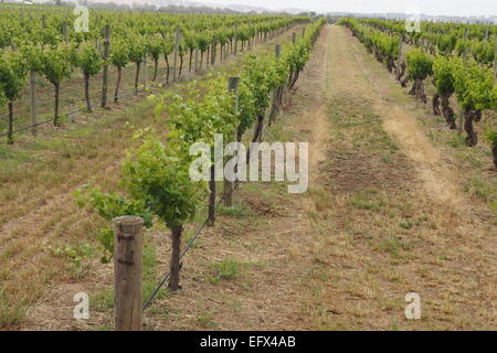 Rows of grapevines in a vineyard. - Stock Photo