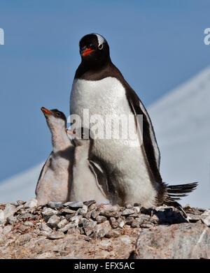 Gentoo Penguin (pygoscelis papua) with chicks on nest, Port Lockroy, Antarctic Peninsula - Stock Photo