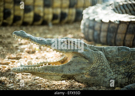 young American crocodile lying on the rocky shore with open mouth - Stock Photo