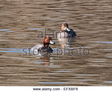 Redheads Aythya americana male and female  ducks  Arizona - Stock Photo