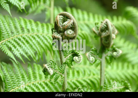 A fern unrolling a young frond - Stock Photo