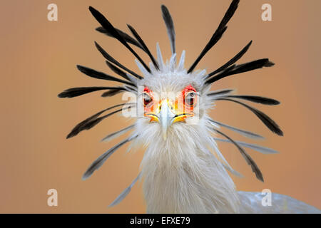 Secretary bird (Sagittarius serpentarius) close-up portrait with black crest wide open. Kruger National Park - Stock Photo