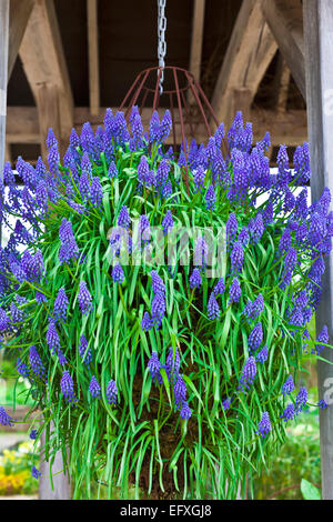 Blue Grape Muscari hyacinth flowers in a hanging basket. - Stock Photo