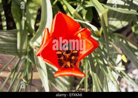 Warped Red Tulip - Stock Photo