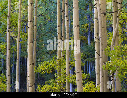 Gunnison National Forest, Colorado: Detailed colors of an aspen (Populus tremuloides) grove in fall color - Stock Photo