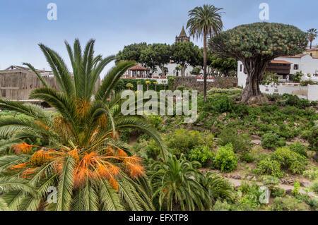 Dragon tree,  Icod de los Vinos, Canary Islands Dragon Tree, Dracaena Draco, Tenerife Canary Islands Spain Atlantic - Stock Photo